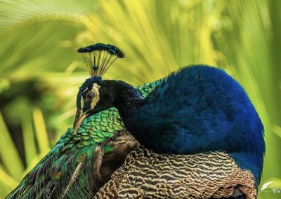 Awaken Your Soul Costa Rican Peacock